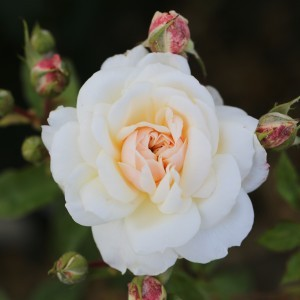 QUEENS JUBILEE ROSE